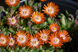 Jewel Of Desert Topaz Ice Plant (Delosperma 'Jewel Of Desert Topaz') at Studley's