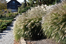 Gracillimus Maiden Grass (Miscanthus sinensis 'Gracillimus') at Studley's