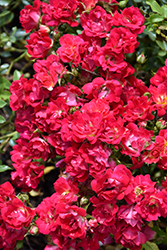 Red Drift® Rose (Rosa 'Meigalpio') at Studley's