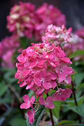 Fire Light® Hydrangea (Hydrangea paniculata 'SMHPFL') at Studley's