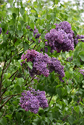 Albert F. Holden Lilac (Syringa vulgaris 'Albert F. Holden') at Studley's
