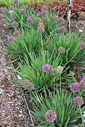 Lavender Bubbles Ornamental Onion (Allium 'Lavender Bubbles') at Studley's
