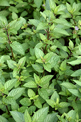 Chocolate Mint (Mentha x piperita 'Chocolate') at Studley's
